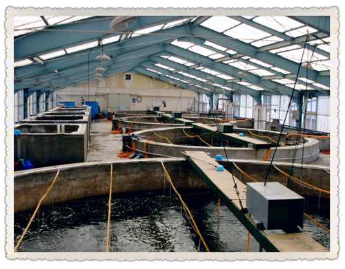 shrimp culture tanks