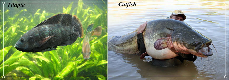 tilapia and catfish