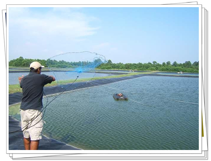 shrimp farming