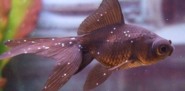 Fish Diseases Diagnosis, Treatment