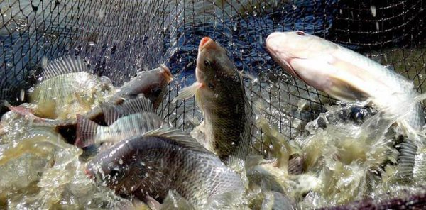 How to Start a Commercial Fish Farm